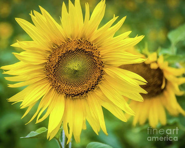 Photograph - Sunflower by Lyl Dil Creations