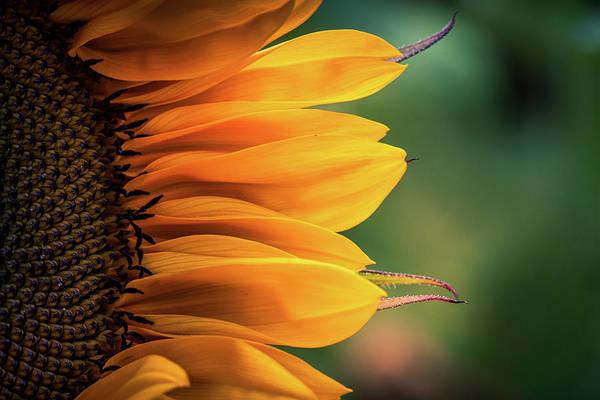 Photograph - Sunflower Macro by Allin Sorenson