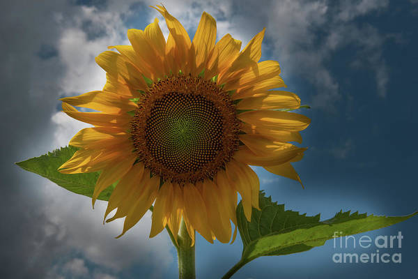 Photograph - Sunflower Magical Dreams by Dale Powell