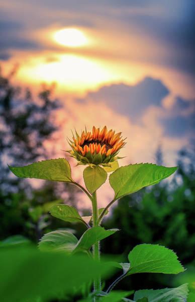 Sunflower Opening To The Light Art Print