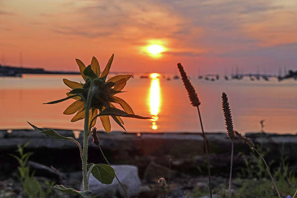 Photograph - Sunflower Overlooking Salem Harbor At Sunrise Salem Ma by Toby McGuire