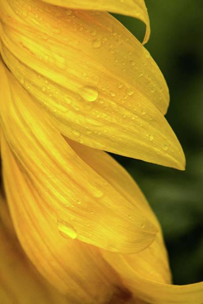 Photograph - Sunflower Petals by Don Johnson