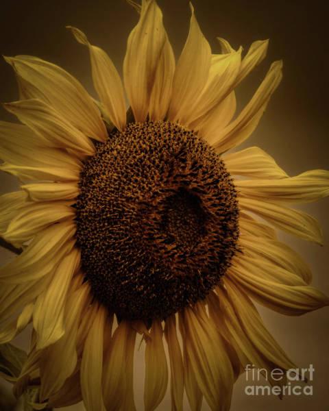 Photograph - Sunflower Petals by Janice Pariza