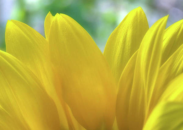 Photograph - Sunflower Petals  by Johanna Hurmerinta