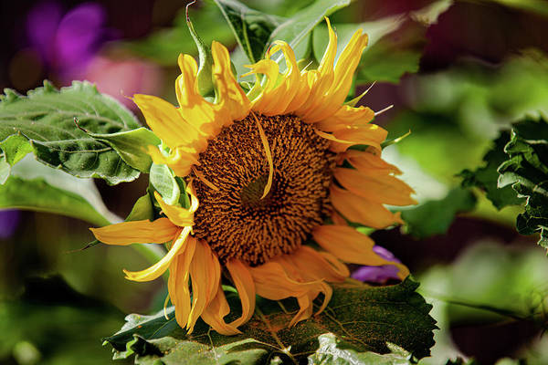 Photograph - Sunflower Power by Flyinghorsedesigncom Photography