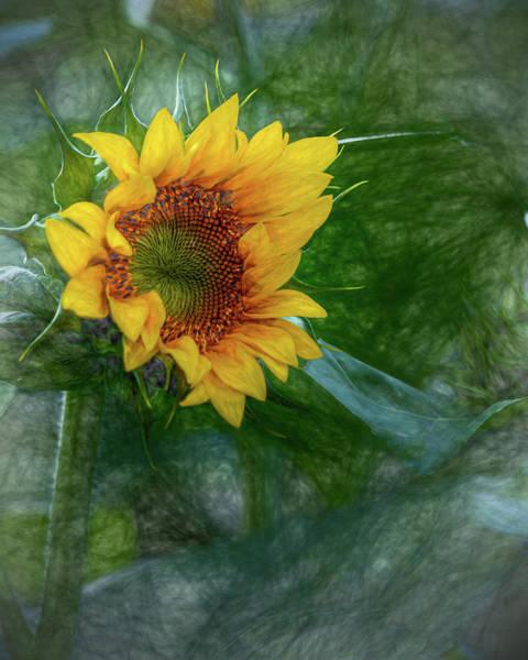 Photograph - Sunflower by Rod Best