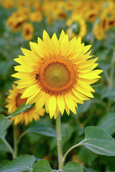 Sunflower Seeds Photograph - Sunflower by Sandsun