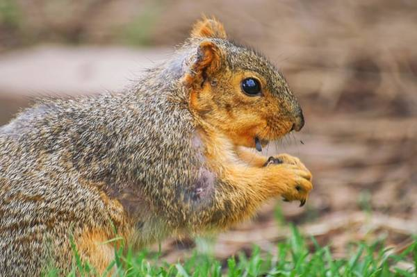 Photograph - Sunflower Seed Eating Squirrel by Don Northup