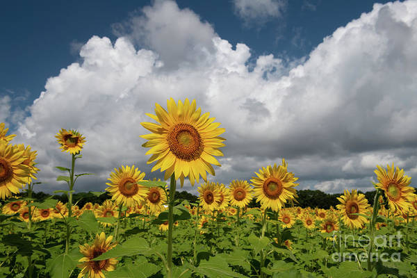 Photograph - Sunflower Sk - Boone Hall Plantation by Dale Powell