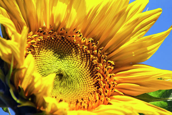Photograph - Sunflower Smile by Christina Rollo