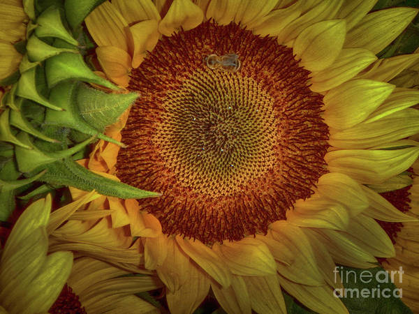 Photograph - Sunflower Splendor by Judy Hall-Folde