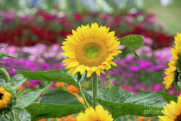 Wall Art - Photograph - Sunflower Sunrich Gold by Tim Gainey