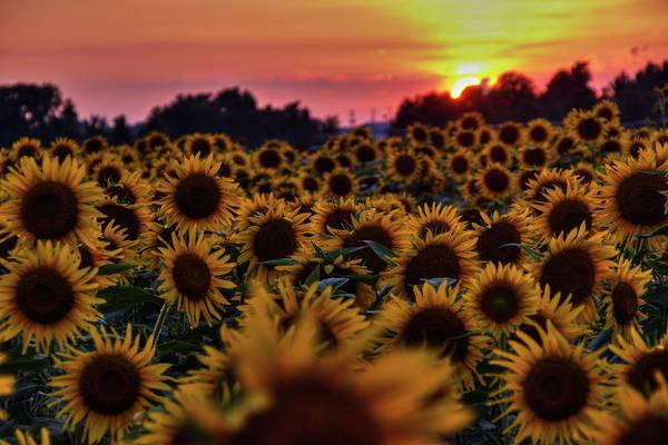 Photograph - Sunflower Sunset 001 by Lance Vaughn