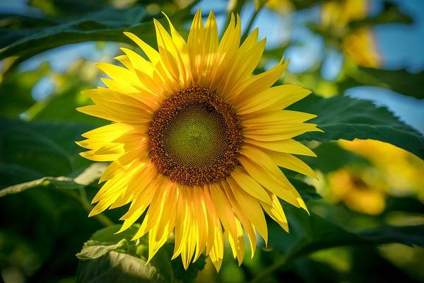 Photograph - Sunflower by Susan Rydberg