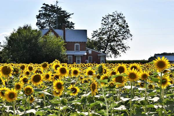 Photograph - Sunflower View by Kim Bemis