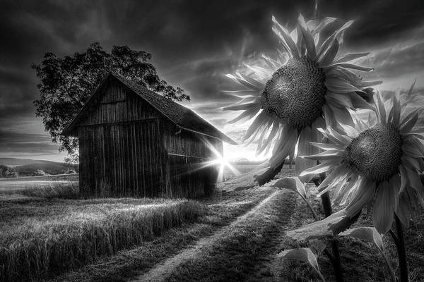 Photograph - Sunflower Watch In Radiant Black And White by Debra and Dave Vanderlaan