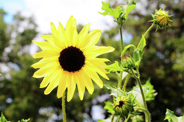 Photograph - Sunflower With Buds by Cynthia Guinn