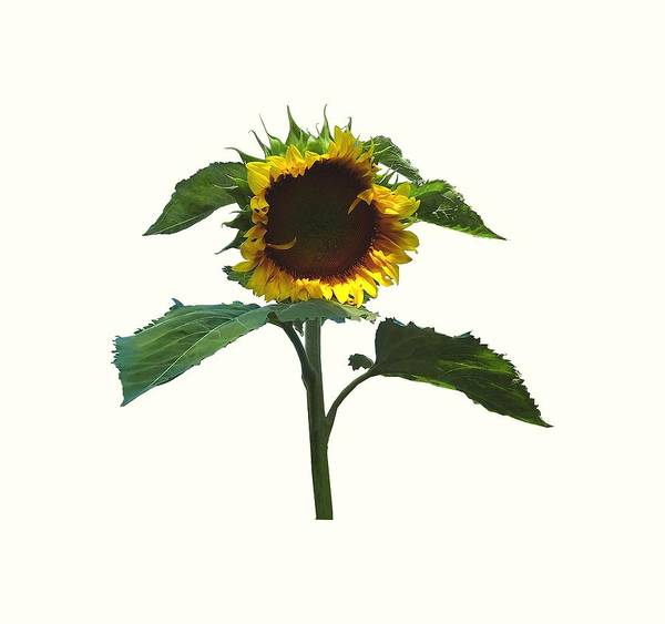 Photograph - Sunflower With Frilly Edge by Susan Savad