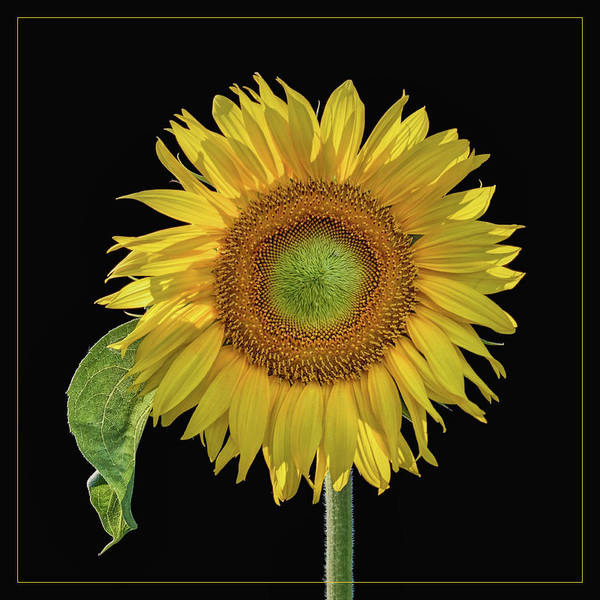 Wall Art - Photograph - Sunflower With Leaf - Square by Nikolyn McDonald