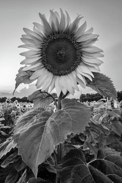 Wall Art - Photograph - Sunflowers 10 by Heather Kenward