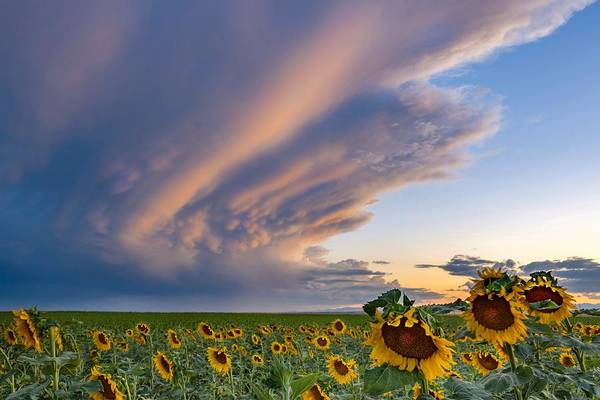 Photograph - Sunflowers And Storm Clouds by Rand