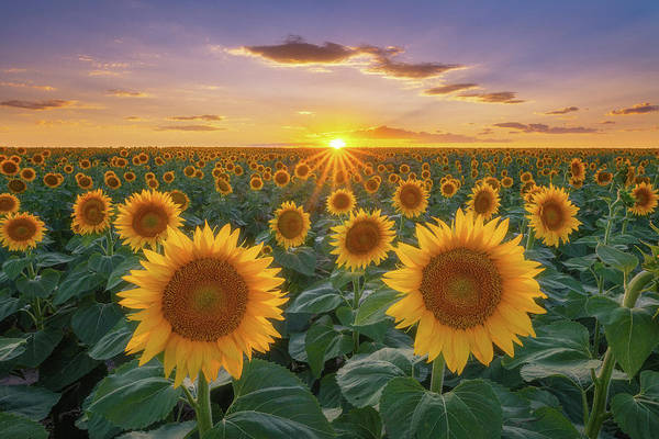 Wall Art - Photograph - Sunflowers At Sunset by Darren White