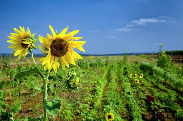 Fredericksburg Wall Art - Photograph - Sunflowers At The Winery by Dean Fikar
