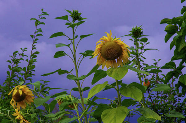 Wall Art - Photograph - Sunflowers Before The Storm by Teresa Herlinger