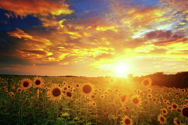 Urban Nature Photograph - Sunflowers Field And Sunset Sky by Avalon studio