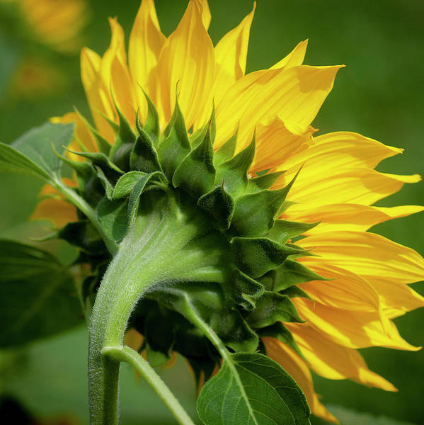 Photograph - Sunflowers  Helianthus 150 by Rich Franco