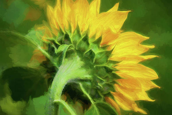Photograph - Sunflowers  Helianthus 151 by Rich Franco