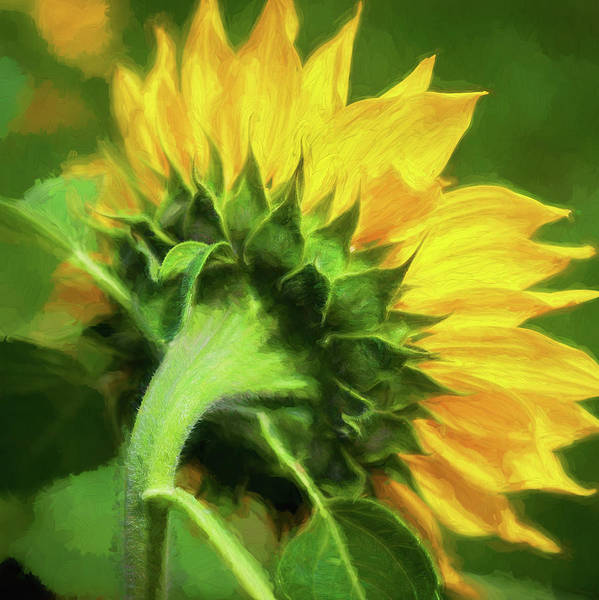 Photograph - Sunflowers  Helianthus 153 by Rich Franco