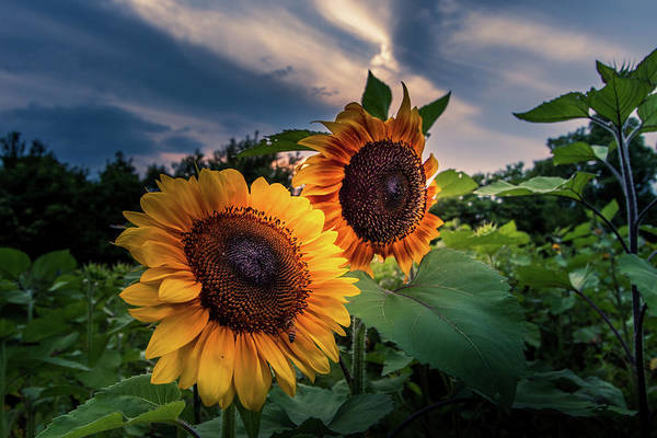 Sunflowers In Evening Art Print