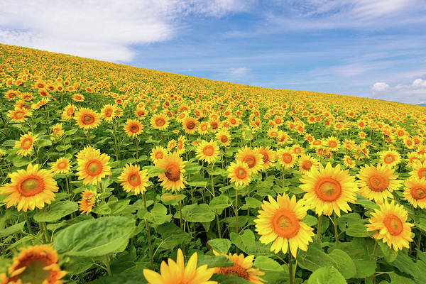 Jason Day Photograph - Sunflowers by Jason Arney