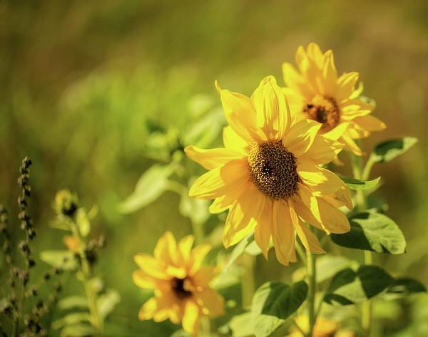Photograph - Sunflowers by Rose-Marie Karlsen