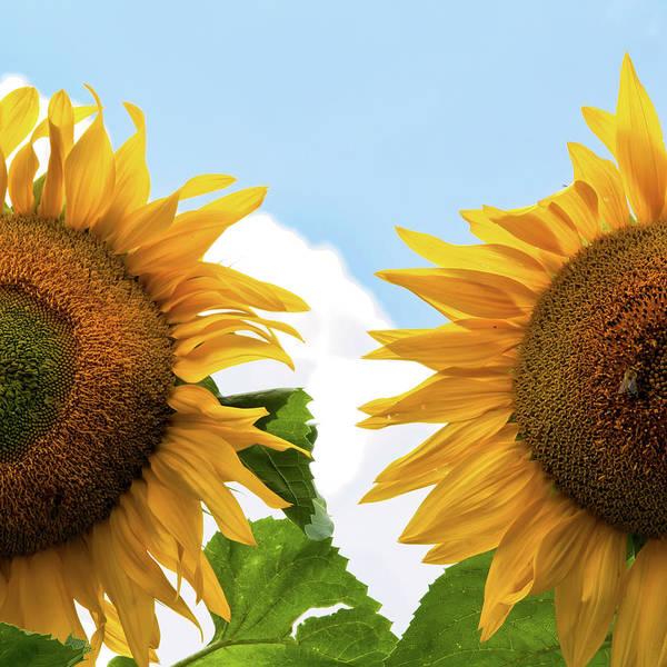 Bee On Flower Wall Art - Photograph - Sunflowers by Rudolf Vlcek