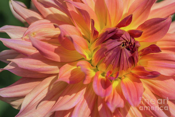 Wall Art - Photograph - Sunkissed Dahlia by Eva Lechner