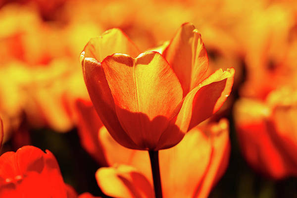 Wall Art - Photograph - Sunkissed Tulips by Garrick Besterwitch