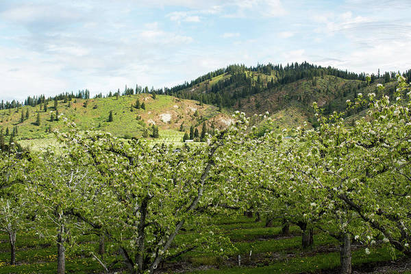 Photograph - Sunlight Above An Apple Orchard by Tom Cochran