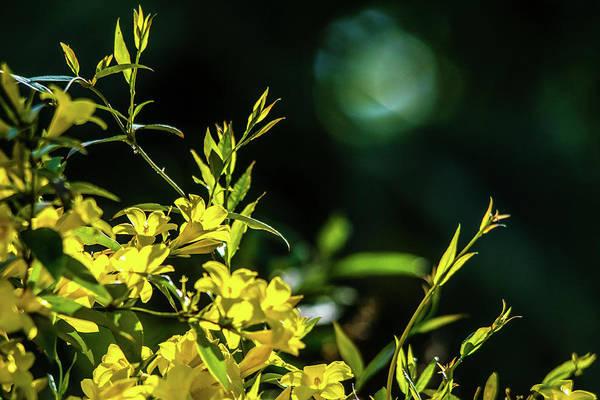 Jasmin Photograph - Sunlight On Jasmine by Mary Ann Artz
