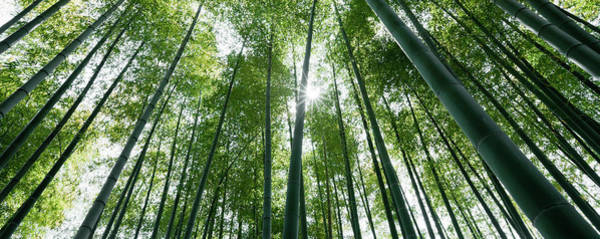 Wall Art - Photograph - Sunlight Through Bamboo Trees by Ooyoo