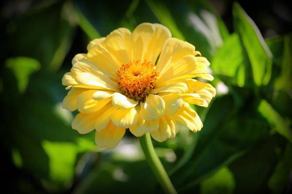 Photograph - Sunlit Daisy  by Cynthia Guinn