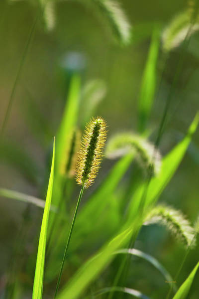 Photograph - Sunlit Grass by Christina Rollo
