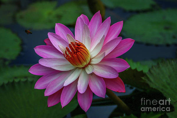 Art Print featuring the photograph Sunlit Lily by Tom Claud