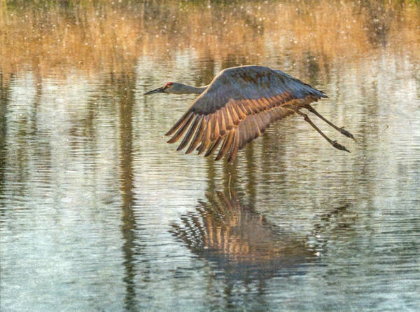 Wall Art - Photograph - Sunlit Sandhill Crane by Angie Vogel