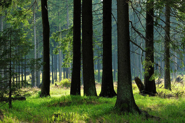 Pine Tree Photograph - Sunlit Spruce Tree Forest by Avtg