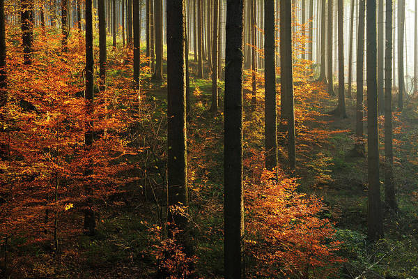 Pine Tree Photograph - Sunlit Spruce Tree Forest In Autumn by Avtg