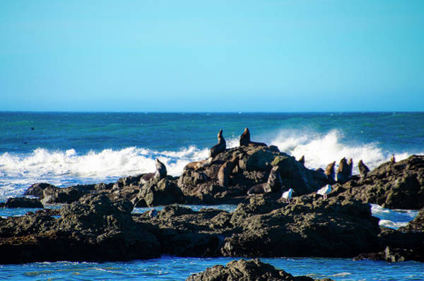 Photograph - Sunning Sealions At Shelter Cove by Bill Cannon