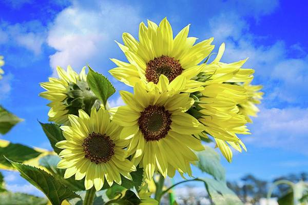 Photograph - Sunny California Sunflowers by Lynn Bauer