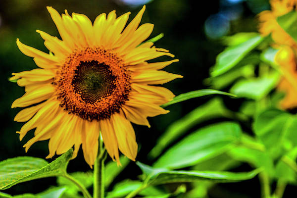 Wall Art - Photograph - Sunny Flower by Justine Fenu
